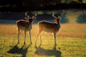 France, Gers, fallow deers