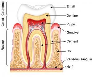 formation-dent